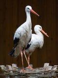 Couple stork Royalty Free Stock Photos
