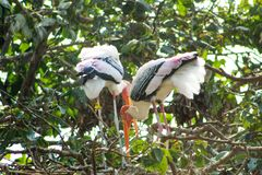 Couple of stork sitting in a tree royalty free stock images