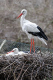 Couple of storks Royalty Free Stock Image
