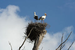 Couple of storks Royalty Free Stock Photos