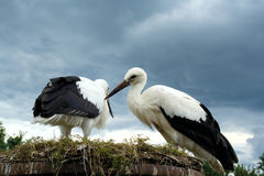Couple storks Stock Photo