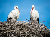 Couple of storks Cicocina ciconia in the nest Stock Photos