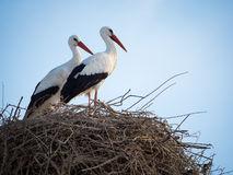 Couple of storks Cicocina ciconia in the nest Stock Image