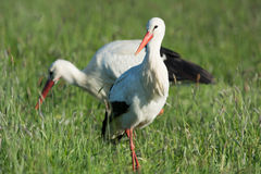 Couple Storks Royalty Free Stock Photography