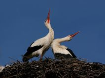 Couple of storks in love season Stock Image
