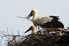 Couple of storks in the nest Royalty Free Stock Image