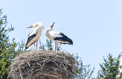 Couple of storks in the nest Stock Photos
