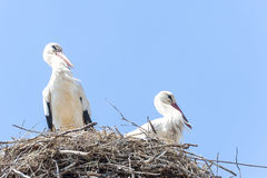 Couple of storks in the nest Stock Image