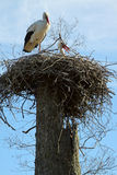 A couple of storks in the nest Royalty Free Stock Photography