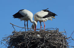 A couple of storks in the nest Royalty Free Stock Photo