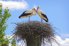 Couple of storks in the nest Stock Photography