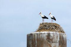 Couple of storks stand together in a nest Royalty Free Stock Image