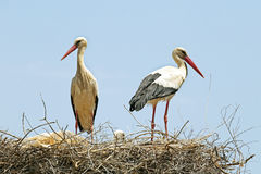 Couple of Storks with their young Royalty Free Stock Photo
