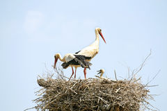 Couple of Storks with their young Stock Photos