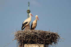Couple of storks Royalty Free Stock Images
