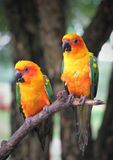 Couple of sun Conure parrots with  red orange yellow green and b Royalty Free Stock Photography
