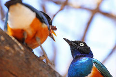 Couple of superb starling feeding on a tree Stock Images