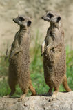 Couple of suricates Royalty Free Stock Photography