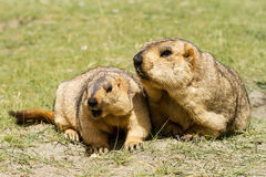 Couple of  surprising marmots on the meadow Royalty Free Stock Photography