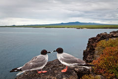 Couple of swallow tailed gull in the Galapagos Stock Image