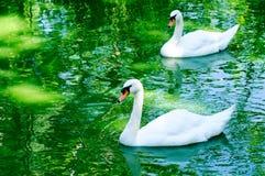 Couple of swan Stock Photo
