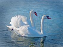 Couple of swan on the lake Stock Photography