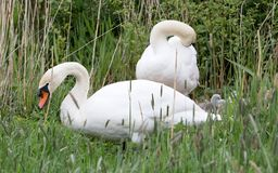 Couple swan with young swans. Selective focus royalty free stock images