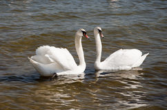 Couple of swans Stock Photos