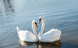 Couple of swans Royalty Free Stock Photos