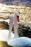 Couple swans royalty free stock photo