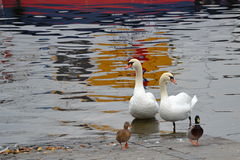 Couple of swans and couple of wild ducks on the river bank Royalty Free Stock Images