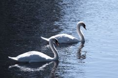 Lovely pair of mute swans with the curved necks. Couple of swans with the curved necks of the float lit by the sun royalty free stock photos