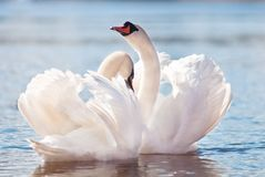 Couple of swans dancing Royalty Free Stock Photo