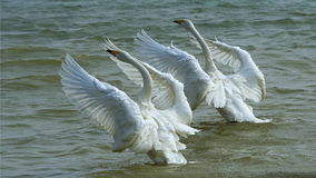 Couple swans. In flight on natural lake in winter stock photos