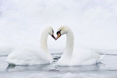 Couple of swans forming heart. Couple of swans forming in water forming heart Royalty Free Stock Image