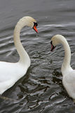 Couple of swans - France Stock Photography