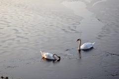 Couple of swans on a frozen lake Stock Photos