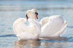 Couple of swans greeting Royalty Free Stock Images