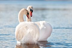 Couple of swans greeting Stock Photos