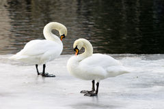 Couple of swans on an ice floe. Couple of swans on the ice. Horizontal shot. winter Royalty Free Stock Photography
