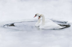 Couple of swans in the ice-hole. Of a frozen lake Stock Photos