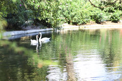 Couple of the swans on a lake Stock Images