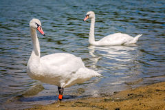 Couple of swans on the lakeshore Stock Photos