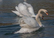 Couple Swans in Love Dance. In Orestiada Lake of Kastoria, Greece. The lake is part of the Aegean Lakes group and is located at 703 meters above sea level stock photo