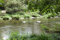 Couple of swans meandering down a river Stock Images