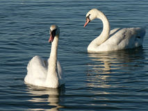 Couple of Swans. A natural shot of a couple of swans in the lagoon Royalty Free Stock Images