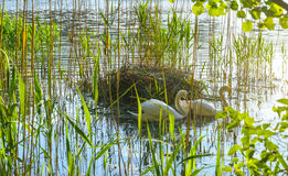 Couple of swans by the nest Royalty Free Stock Photos