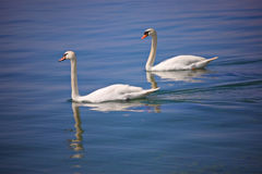 Couple of swans at Ohrid lake Royalty Free Stock Photos