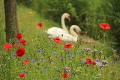 Couple swans with poppies in spring. Couple, male and female swan on the nest with blooming popppies, cornflowers and phacelia along the shore of the pond in Stock Image