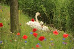 Couple swans with poppies in spring. Couple, male and female swan on the nest with blooming popppies, cornflowers and phacelia along the shore of the pond in Royalty Free Stock Images